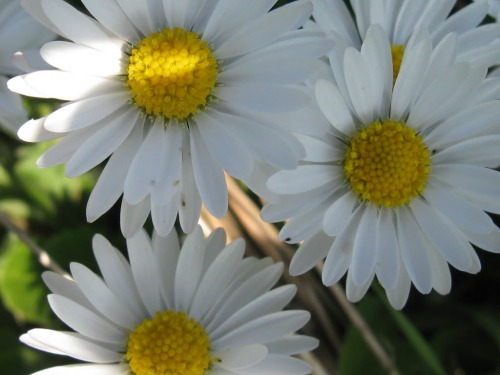 The Common Daisy, the one we all know and love.