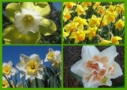 Daffodils accented with lime green, orange, white, and pink.
