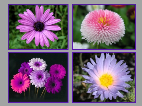 4 types of daisies, clockwise from top left: African Daisy, English Daisy, Gerber Daisies, and Desert Daisy