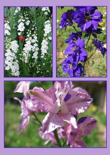 Larkspurs in white, purple, and pink
