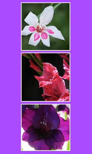 GSF-Gladiolus.collage.trio